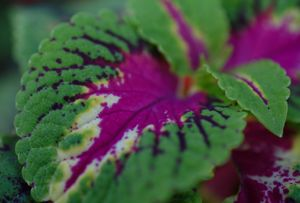 Purple and green Coleus