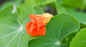 Baby Orange Flower