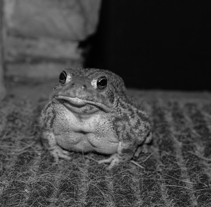 Black and white toad - Jennifer Wallace