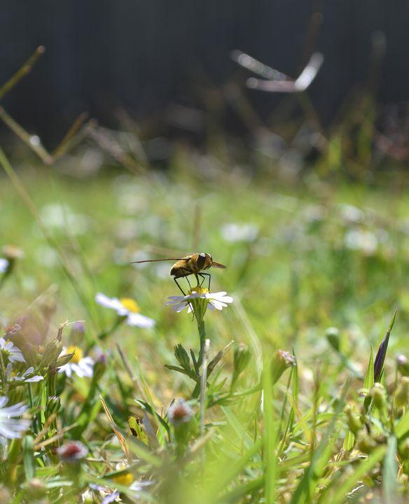 Hoverfly on daisy - Jennifer Wallace
