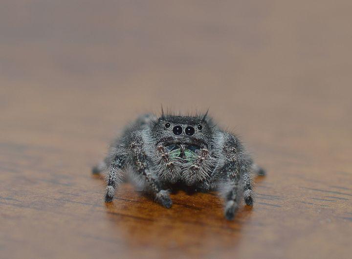 Bold jumping spider on wood - Jennifer Wallace