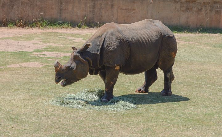 White Rhino Eating - Jennifer Wallace