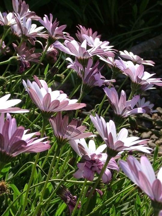 Pretty daisies - Petra's Gallery