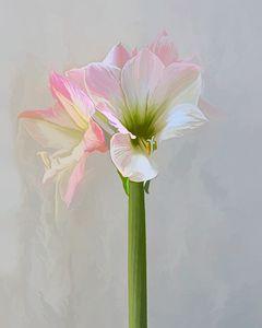 Pink and White Amaryllis