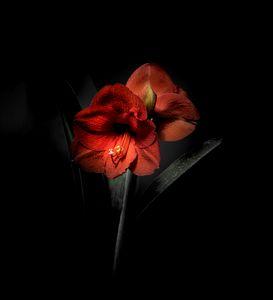 Red Amaryllis on Black