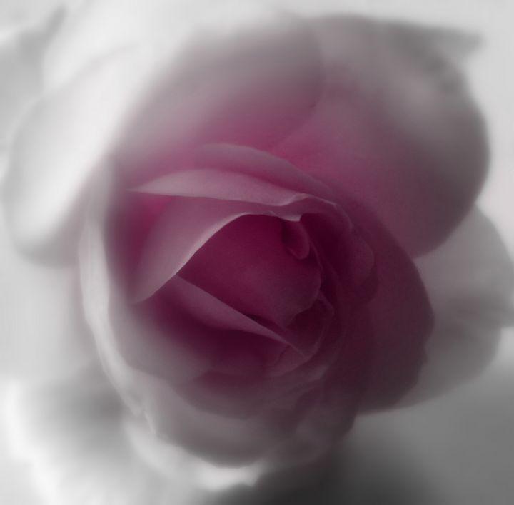 Rose - Lynn Bolt Lochside Photos