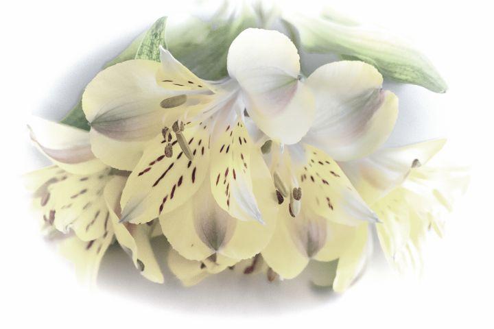 Yellow Alstroemeria - Lynn Bolt Lochside Photos