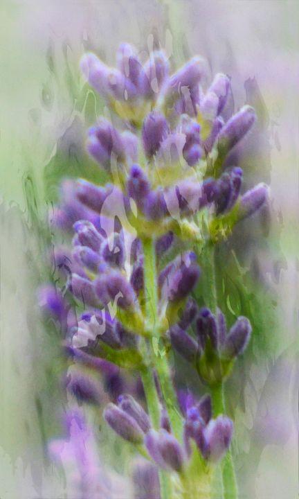 Lavender - Lynn Bolt Lochside Photos