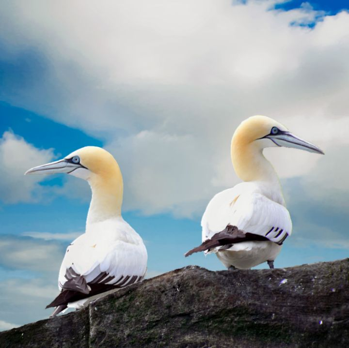 Gannets - Lynn Bolt Lochside Photos