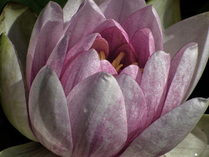 Water Lily - Lynn Bolt Lochside Photos