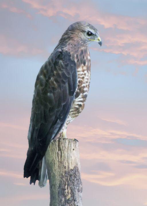 Peregrine Falcon - Lynn Bolt Lochside Photos
