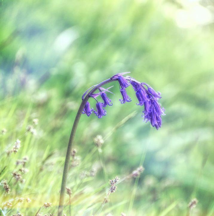 Drooping Bluebell - Lynn Bolt Lochside Photos