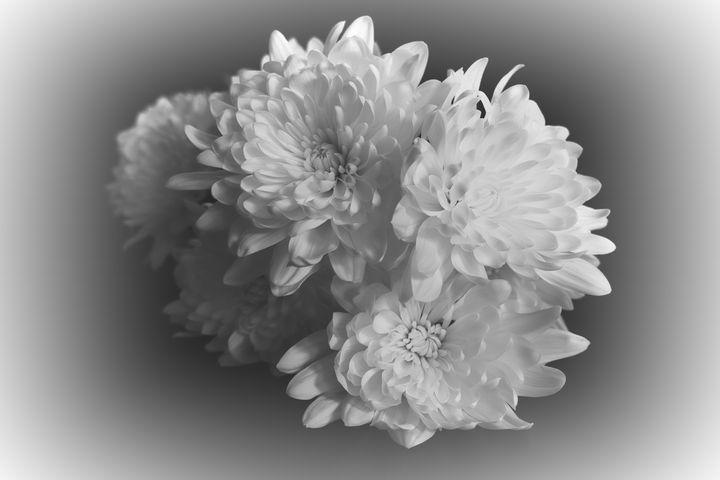White Chrysanthamums - Lynn Bolt Lochside Photos