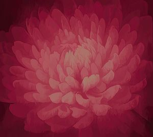 Chrysanthemum in Shades of Red