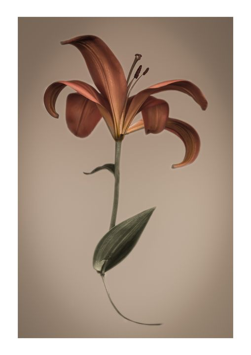 LILY - Nature, Divine Proportion, Still Life