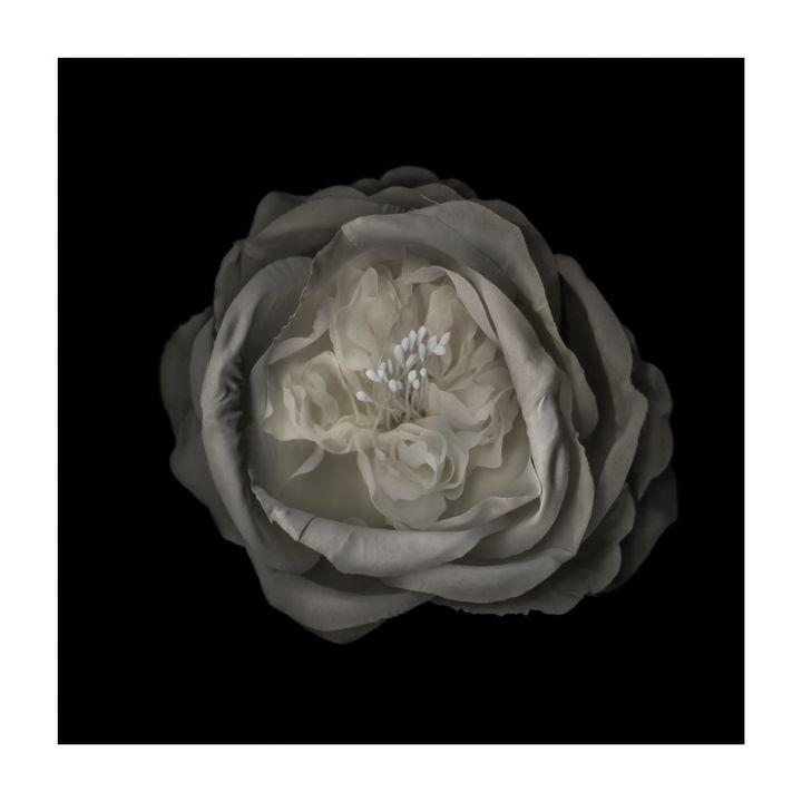 WHITE ROSE - Nature, Divine Proportion, Still Life