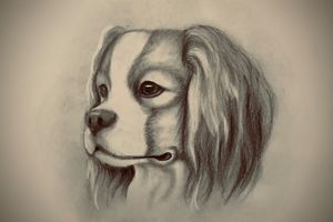 Sketching - King Charles Spaniel