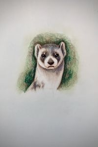 Drawing - Ferret