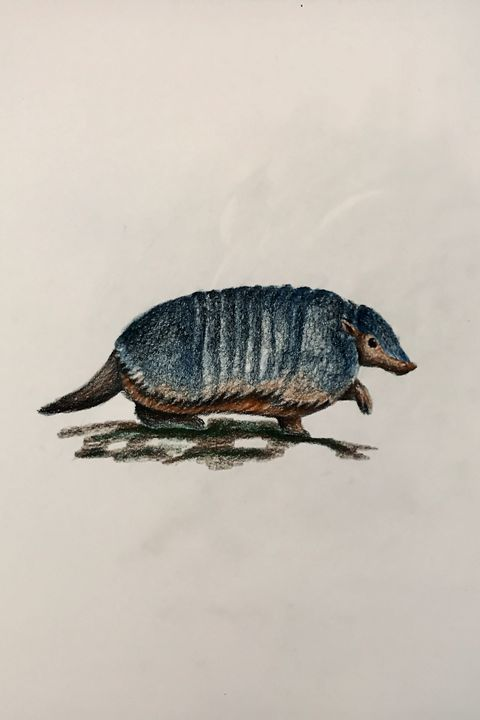 Drawing - Armadillo (Larger Hairy) - Online Lesson Demo Works