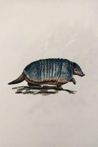 Drawing - Armadillo (Larger Hairy)