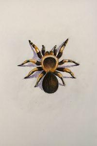 Drawing - Tarantula