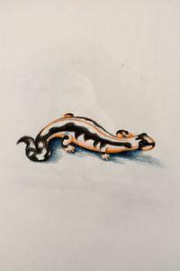 Drawing - Newt (Lorestan)
