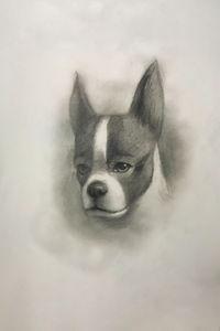 Sketching - Boston Terrier