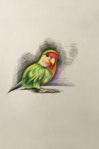 Drawing - Parrot - Sun Parakeet