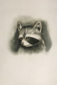 Drawing - Racoon