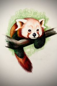 Drawing - Red Panda