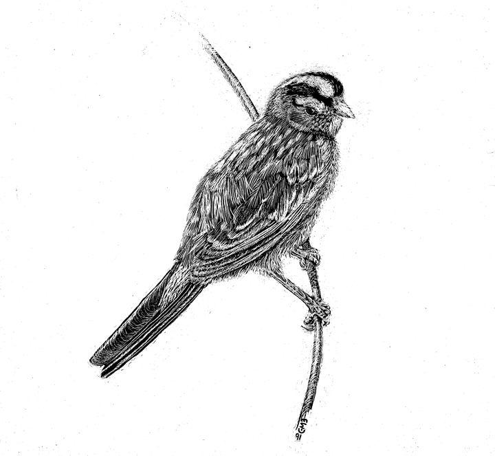 White Crowned Sparrow - Greg McBride