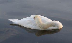 'Sleeping Swan On The Serpentine'