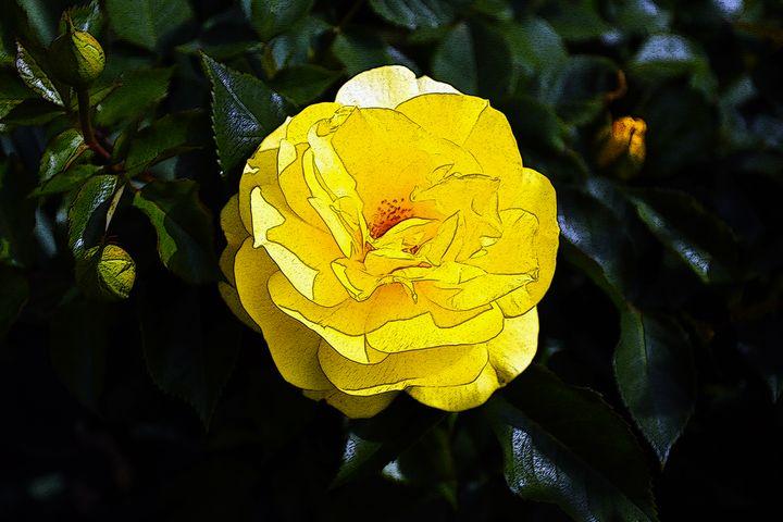 Yellow rose - Sasha