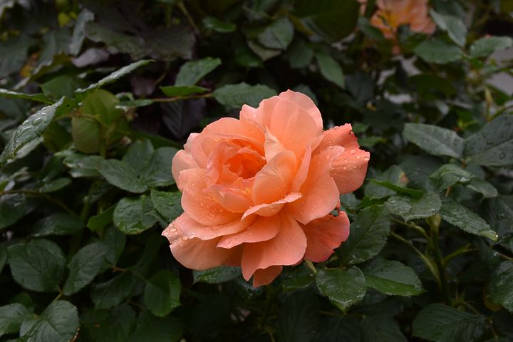 Orange rose - Sasha