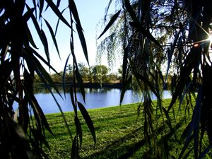 willow tree frame by the lake
