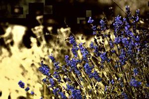 Lavender with Yellow - Al Burton Art