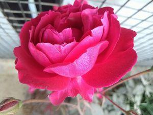 A beautiful Rose flower