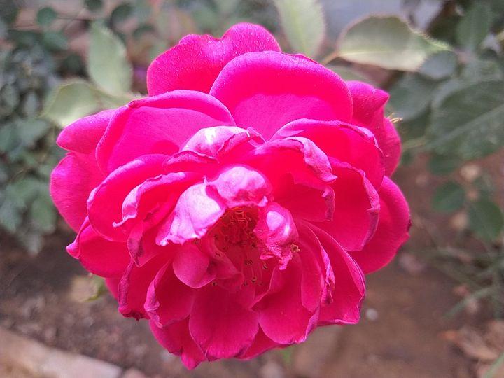 Pink Rose - Amateur