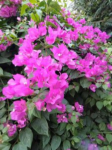 Bougainville Pink