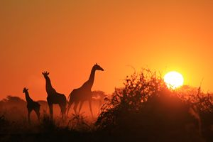 Giraffe - Sunset Wonder of Beauty