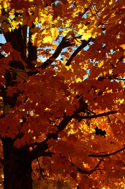 Sugar Maple - tiffanycassanophotography