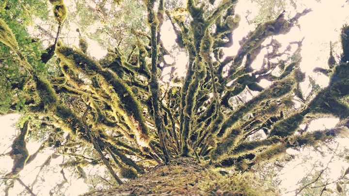 Mossy tree - Kaolie
