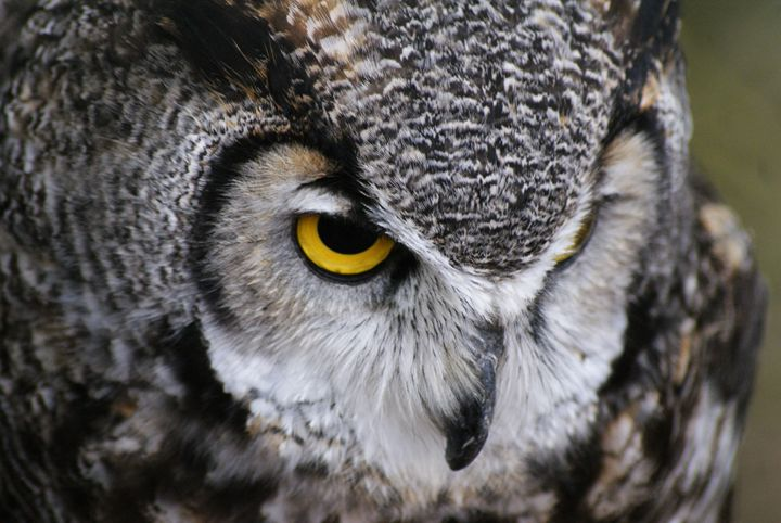 Great Horned Owl - Turner Photography
