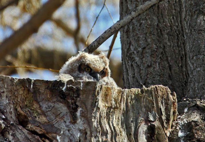 Great Horned Owlet - Turner Photography