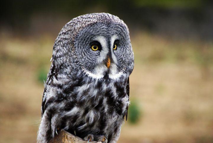 Grey Owl - Turner Photography