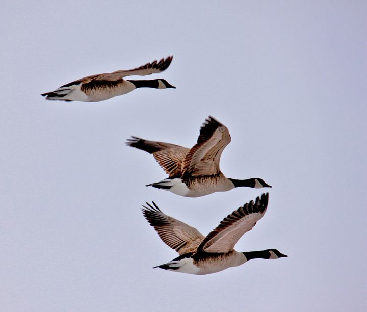 In Flight Geese - Turner Photography