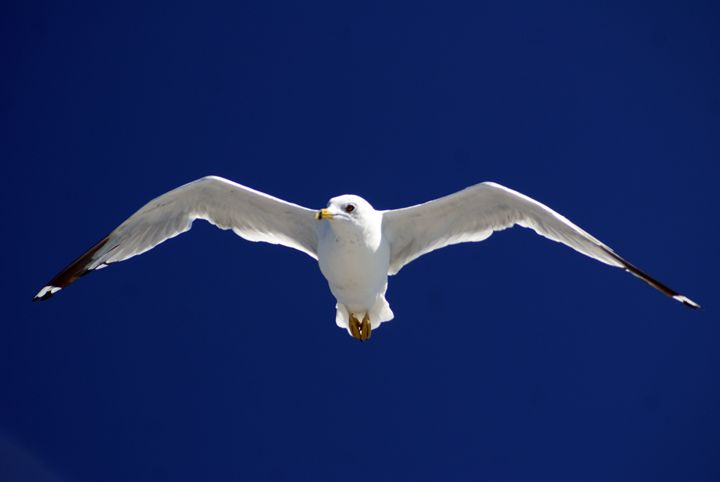 Seagull In Flight - Turner Photography