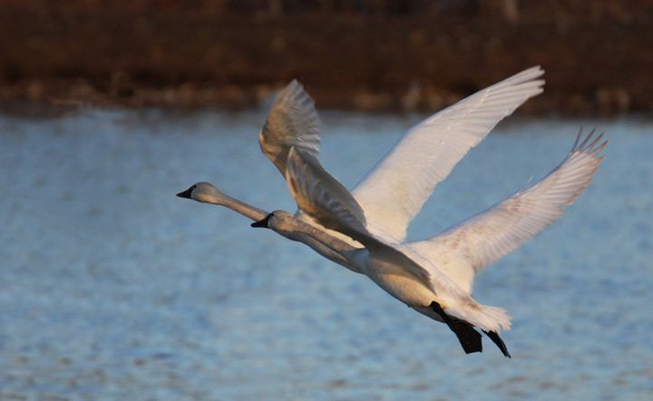 Tundra Swans 01 - Turner Photography