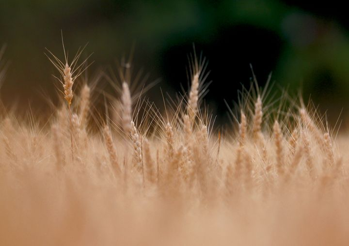 Wheat - Turner Photography