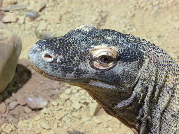 Komodo Dragon - Michael